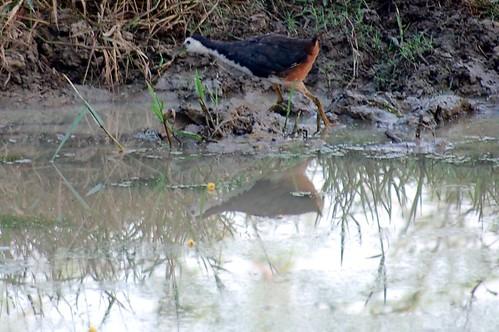 An einem Teich spiegelt sich ein Huhn im Wasser