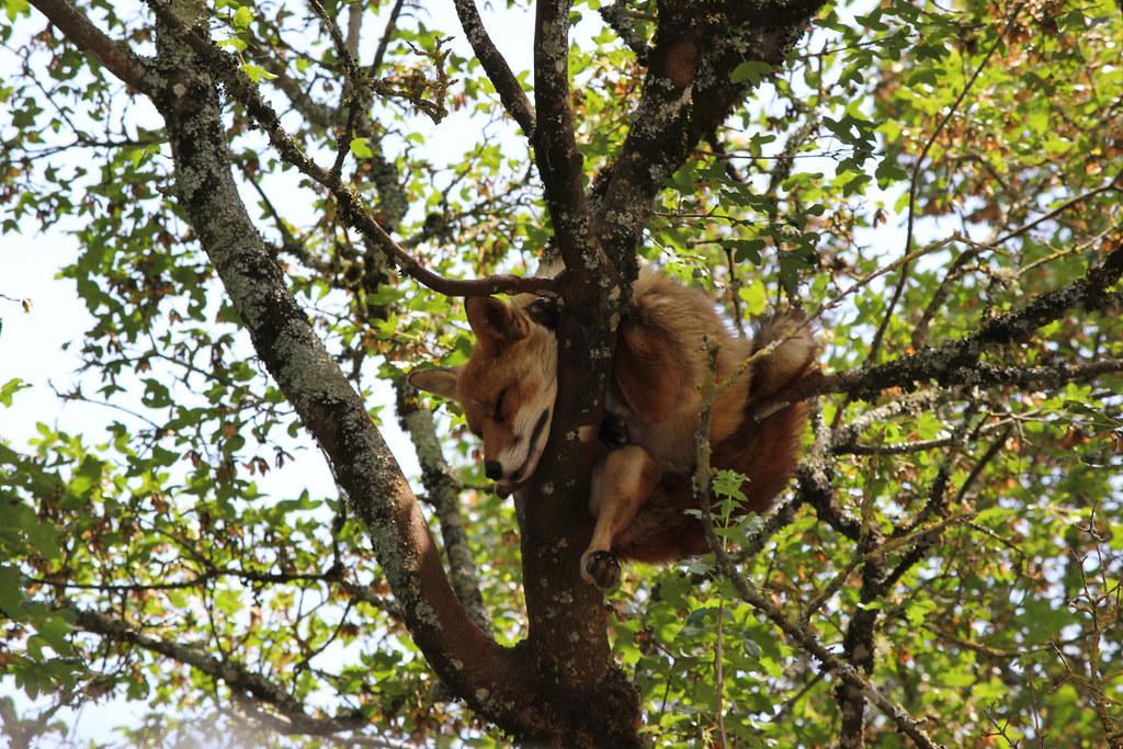 Fox asleep up a tree
