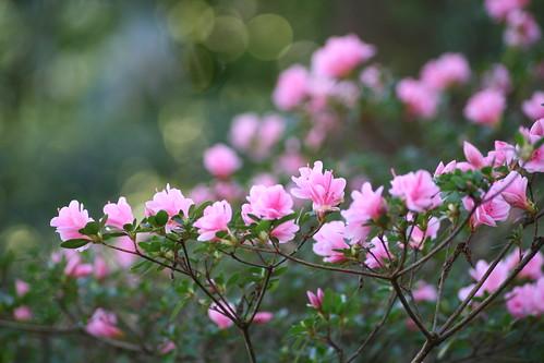 flower nature canon flora azalea floraandfauna 400d canoneos400d canon400d
