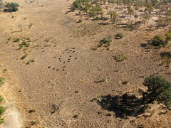 Cape Buffalo viewed from Helicopter