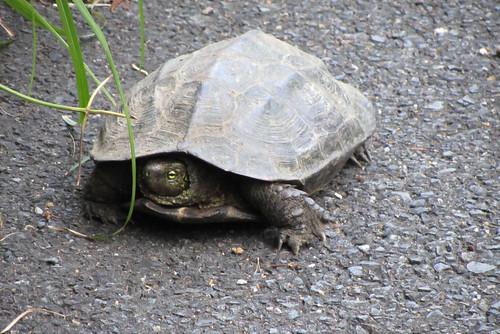 Tsushima Turtle