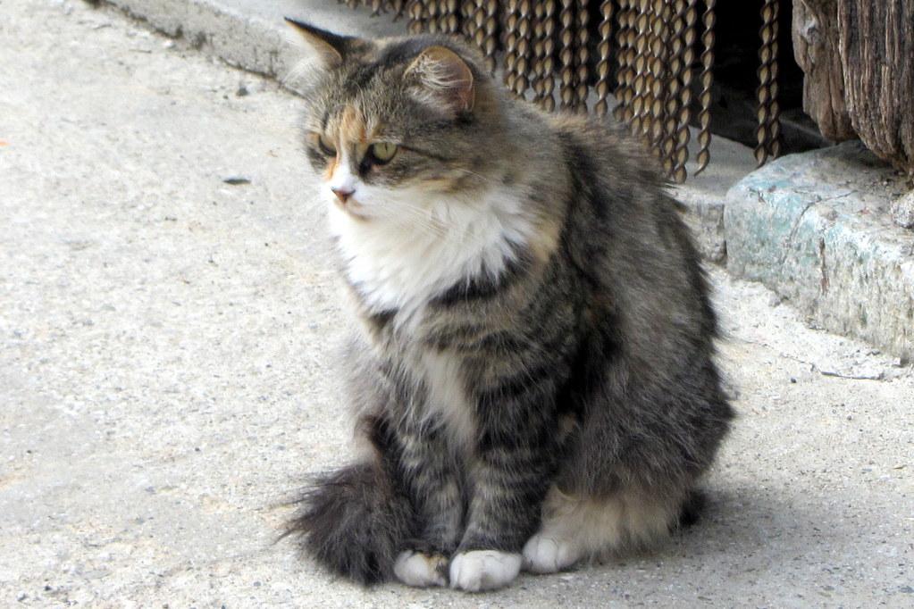 un gato de Es Bòrdes (Val de Arán)