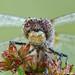Ruby Meadowhawk by Squirrel_bark