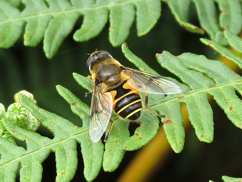 Hoverfly - Eristalis horticola
