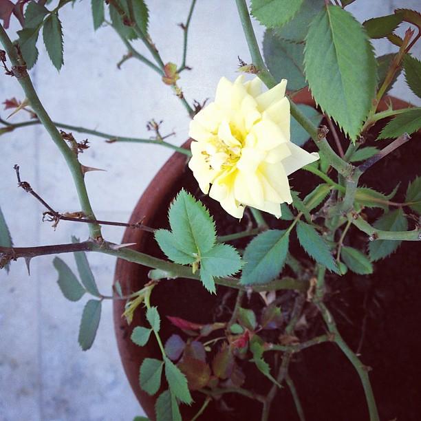 Quem diria que de uma singela rosa sairia uma série de fotografias. #rosa #panamá