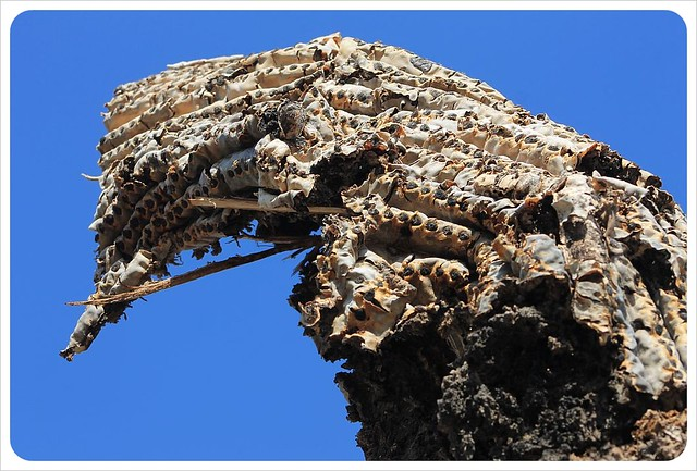 dead saguaro close-up arizona