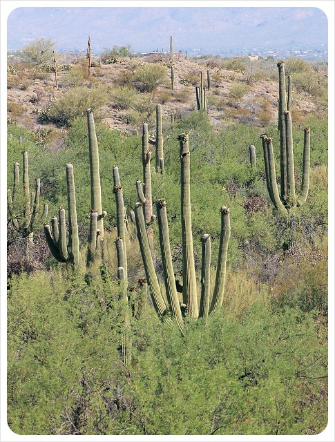 saguaros in southern arizona
