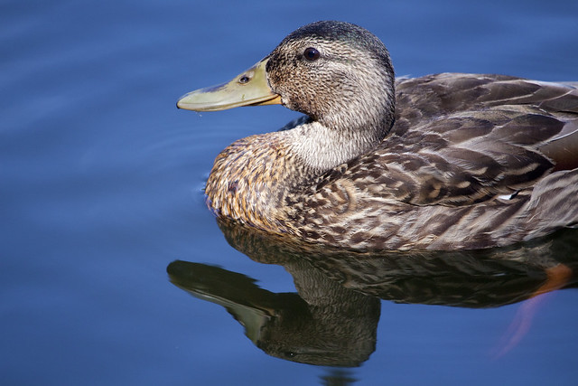 moulting male mallard2