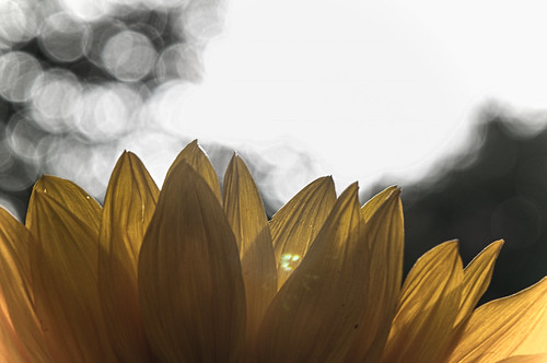 Sunflower and bokeh