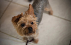 dog breed, animal, dog, schnoodle, pet, australian silky terrier, biewer terrier, norwich terrier, morkie, cairn terrier, australian terrier, carnivoran, yorkshire terrier, terrier,