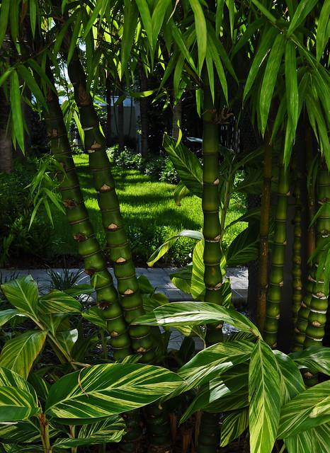 Bambusa vulgaris 'Wamin' - Buddah's Belly Bamboo (2)