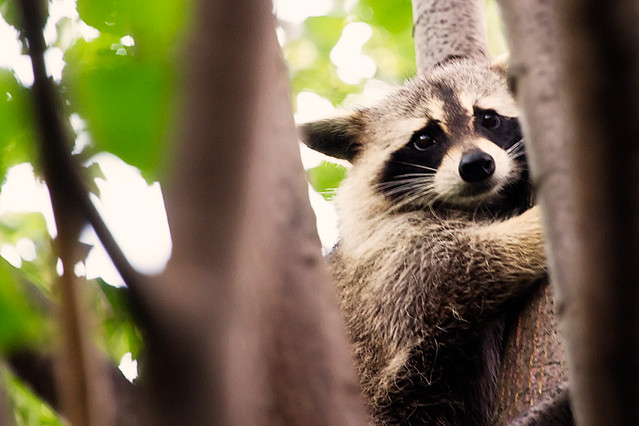 raccoon_07_2012
