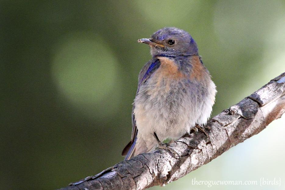 063012_bird_bluebird