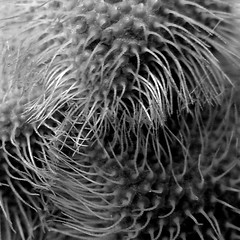 hairy bud of a poppy - abstracted