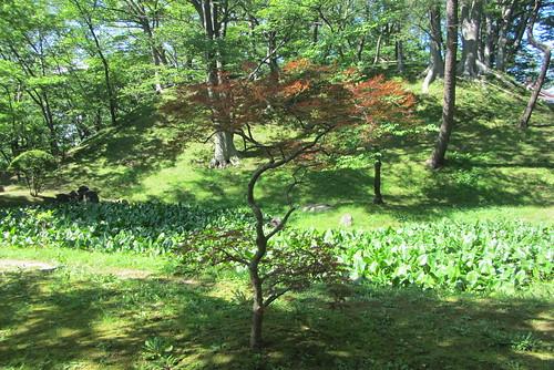 plants japan momiji akita teahouse redmaple senan senshupark