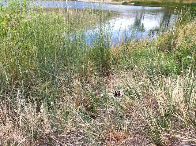 Dragonfly - Biking at Wonderland Lake, Boulder, CO