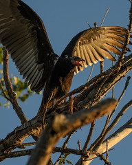 Turkey Vulture_3904.jpg by Mully410 * Images