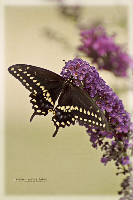 Butterfly Summer II