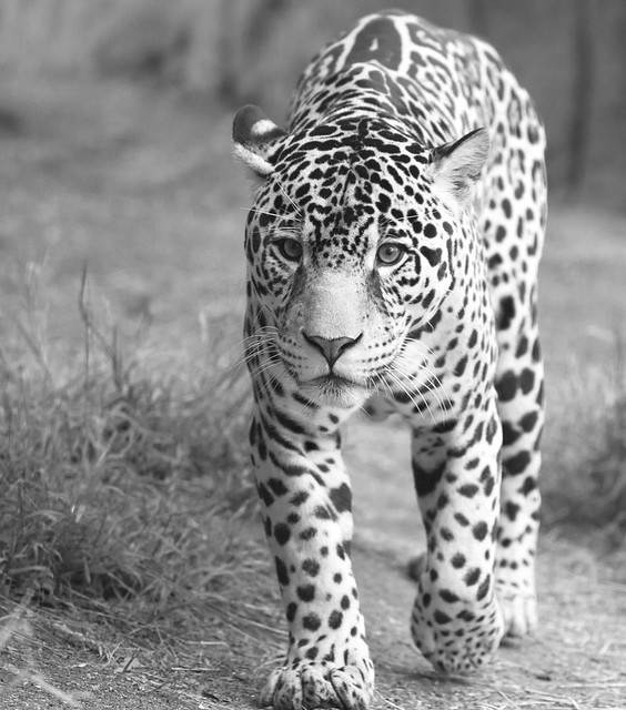 Jaguar in black and white | Flickr - Photo Sharing!