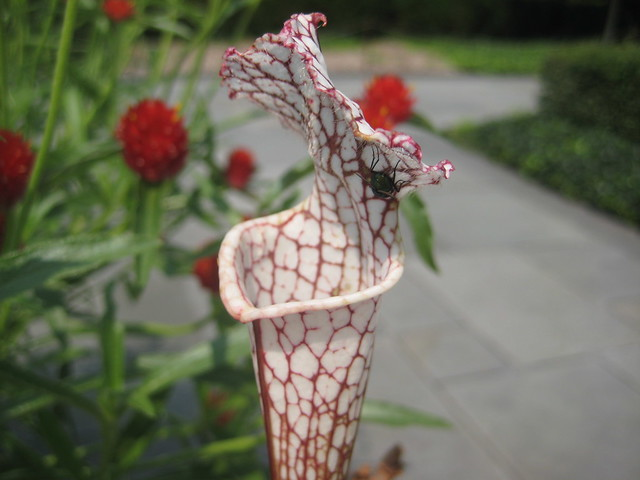 An unlucky fly is fooled by Sarracenia leucophylla, a native pitcher plant species.  Photo by Sarah Schmidt.