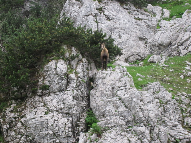 Header of Alpine Chamois