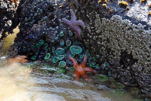 Starfish, Anemone
