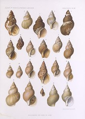 food(0.0), cockle(0.0), conch(1.0), sea snail(1.0), invertebrate(1.0), seashell(1.0), conch(1.0),