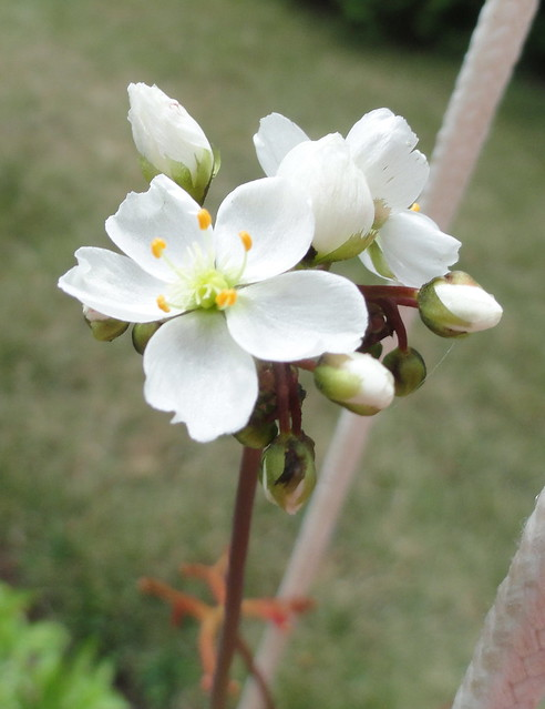 Drosera binata var. multifida f. extrema flower