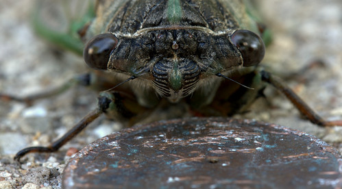 Cicada with penny