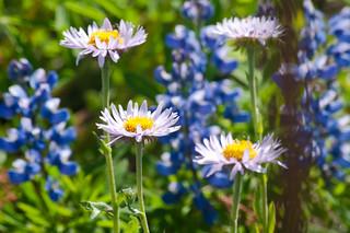 Mountain Daisy (Erigeron peregrinus)