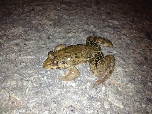 Field frog