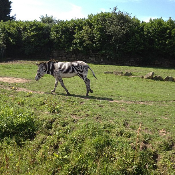 All the #zebras were laying down and suddenly this one got up and ran around
