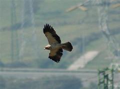 Booted Eagle 3