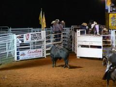 western riding(0.0), equestrian sport(0.0), barrel racing(0.0), animal sports(1.0), rodeo(1.0), cattle-like mammal(1.0), bull(1.0), event(1.0), sports(1.0), bull riding(1.0),