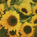 Sunflowers by Photege