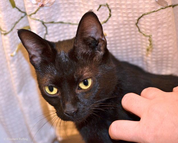 Black mama cat, by Elizabeth Ruffing