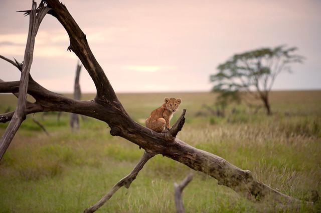 Cachorro de león descansa sobre un árbol caído durante un atardecer en el Serengueti, Tanzania