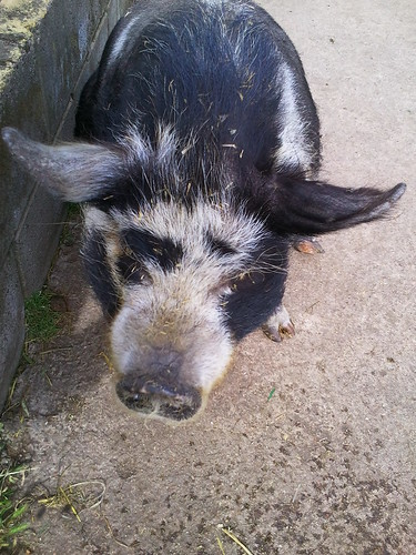 Kune Kune pig at Newham City Farm London