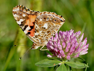 painted lady DSC_6258