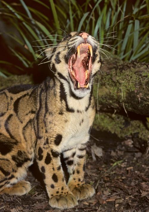 Male clouded leopard (Neofelis nebulosa) S E Asia, Captive