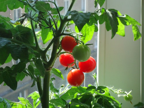 Tomatoes at home