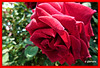 Que inicies la semana con el regalo de una flor...P1090793E