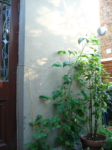 Triffid tomatoes