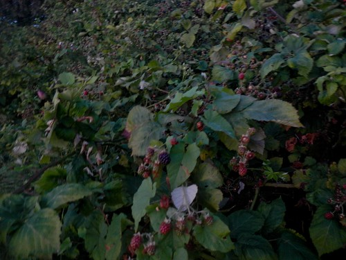 Blackberries on the Burke-Gilman near Golden Gardens