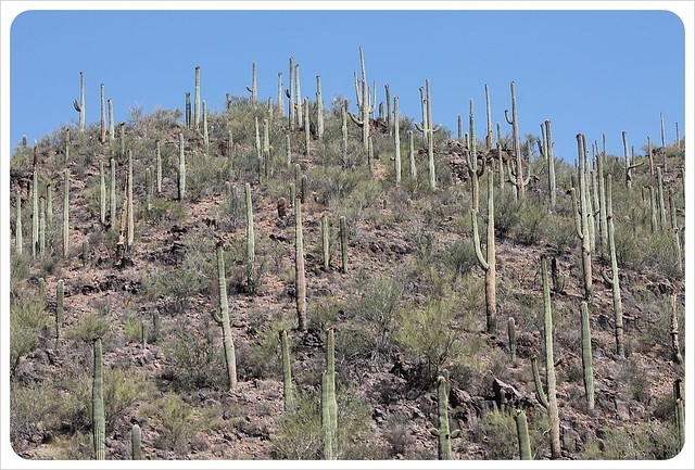 arizona saguaros