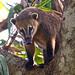 South American Coati (Dani Free)
