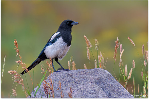 Black-billed Magpie | by BN Singh
