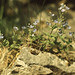 Small photo of Veronica chamaedrys. Cil Sanws cliff