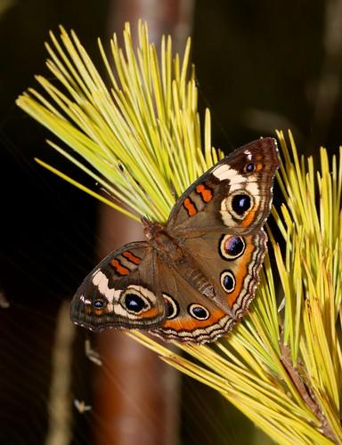 lepidoptera moth upperpeninsula michigan commonbuckeye junoniacoenia