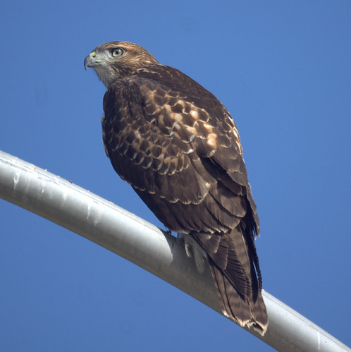 Red-tailed Hawk by Mike's Birds